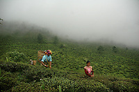 INDIA (West Bengal - Darjeeling) June 2007, Women plucking tea at  Makaibari tea garden.The Darjeeling tea industry has a work force of 45000 women tea pluckers who gets a wage of 1 usd a day. Most of the tea pluckers are from the tribal community. Makaibari produces the most expensive tea in the world. They produce the tea organically (without using any fertilizers or spraying pesticides)through permaculture.  Makaibari is situated at the misty foot hills of Darjeeling Himalayas - Arindam Mukherjee