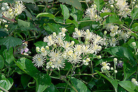 TRAVELLER'S-JOY Clematis vitalba (Ranunculaceae) * Length to 20m. Scrambling hedgerow perennial of chalky soils. FLOWERS are creamy, with prominent stamens; borne in clusters (Jul-Aug). FRUITS comprise clusters of seeds with woolly, whitish plumes, hence plant's alternative name of Old Man's Beard. LEAVES are divided into 3-5 leaflets. STATUS-Locally common in C and S England, and Wales.