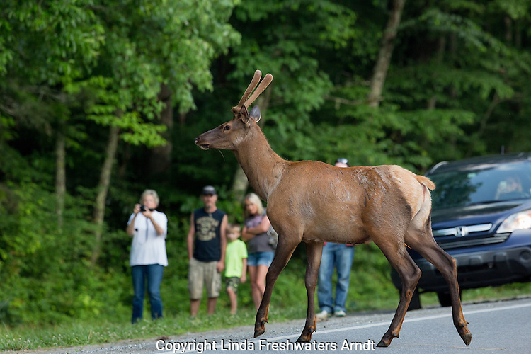 Bull elk stopping traffic in the Smoky Mountains