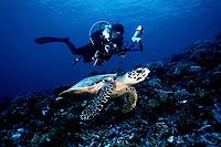 hawksbill turtle, Eretmochelys imbricata, and diver with digital camera, Rangiroa Atoll, French Polynesia, Pacific Ocean