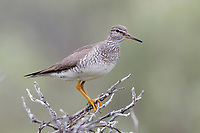 Gray-tailed Tattler (Tringa brevipes) in breeding plumage. Chukotka, Russia. July.