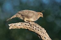 574470019 a wild female gambel's quail perches on a dead cactus skeleton near green valley arizona united states