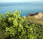 Alexanders grow clifftop near St Martin's Point view over sea Jerbourg Guernsey Channel Islands