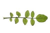 Brunnenkresse, Echte Brunnenkresse, Wasserkresse, Nasturtium officinale, Common Watercress, Watercress, yellowcress, Le Cresson de fontaine, le Cresson officinal. Blatt, Blätter, leaf, leaves