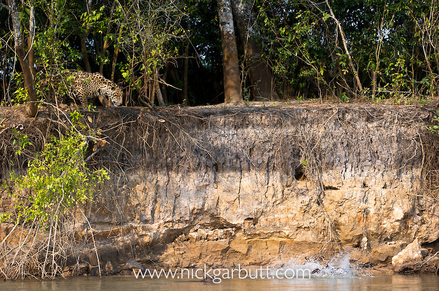 Wild female Jaguar (Panthera onca palustris) stalking startled Capybara (Hydrochaeris hydrochaeris) swimming in the Piquiri River (a tributary of Cuiaba River). Northern Pantanal, Brazil.