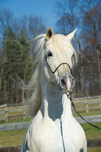 White horse front view head shot with mane hair flying, white Arabian Stallion, Pennsylvania, PA, USA.