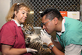 Washington, D.C. - July 6, 2006 -- Smithsonian's National Zoo Veterinarian Carlos Sanchez uses an eye scope to examine a Sumatran tiger cub held by Animal Keeper Jeanne Minor on July 6, 2006. Three cubs--one male and two females--were born at the National Zoo on May 24. The 6-week-old cubs received their first round of vaccinations during Thursday's medical exam..Credit: Jessie Cohen-Smithsonian Institution via CNP