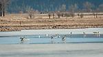 Swams landing in the wetlands at Kootenai National Wildlife Refuge in North Idaho