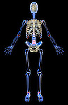 An anterior view of the skeletal system. Royalty Free