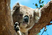 The Koala (Phascolarctos cinereus) is a thickset arboreal marsupial herbivore native to Australia, and the only extant representative of the family Phascolarctidae.....The Koala is found in coastal regions of eastern and southern Australia, from near Adelaide to the southern part of Cape York Peninsula. Populations also extend for considerable distances inland in regions with enough moisture to support suitable woodlands. The Koalas of South Australia were largely exterminated during the early part of the 20th century, but the state has since been repopulated with Victorian stock. The Koala is not found in Tasmania or Western Australia.
