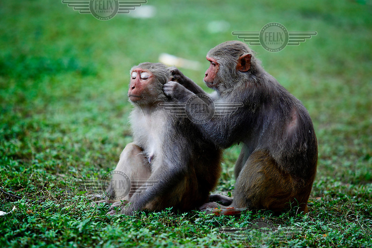 Monkeys in Char Muguria, although revered by many of the local population, human encroachment and floods have led to many of the animals becoming malnourished and dying.