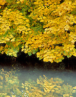 Big Leaf Maple (acer macrophyllum) at streamside in fall color. Cottage Grove, Oregon