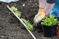 Planting out lettuce grown in a greenhouse, Lancashire.
