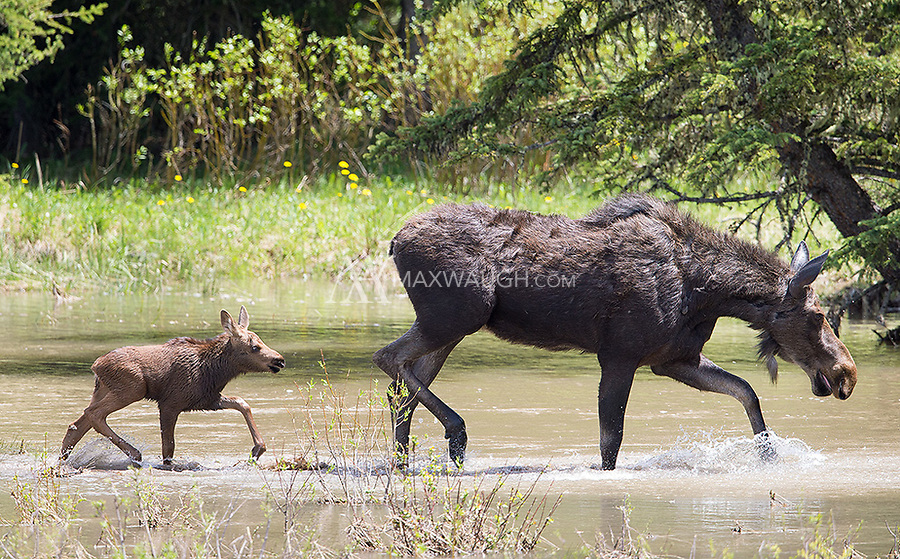 This moose and calf were seen on and off during my spring tour.  It took a few attempts, but we finally caught them in the open.