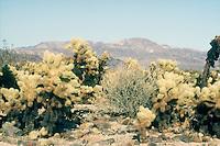 DESERT FLORA<br /> Colorado Desert Landscape<br /> Joshua Tree NP, CA