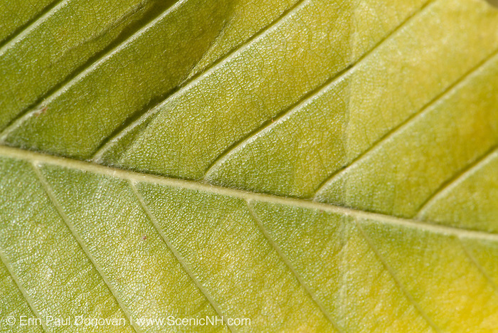 American Beech-Fagus grandifolia-  leaf during the autumn months in New England USA