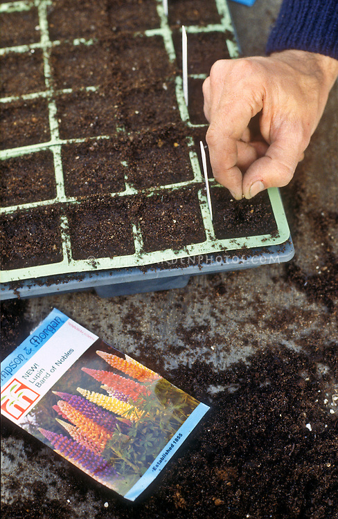 Starting plants from seeds, Lupines, Lupinus Band of Noble series seed packet, flat with seed starting potting mix, hand sowing seed in winter early