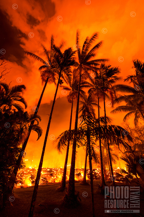 June 2018: Lava from the Kilauea eruption approaches a stand of palm trees in the Leilani Estates neighborhood, Puna district, Hawai'i Island.