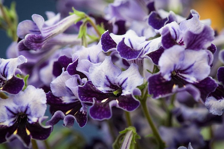 Streptocarpus 'Supernova', shortlisted for Plant of the Year at the RHS Chelsea Flower Show, 2014.