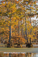 63895-14216 Baldcypress trees in fall, Horseshoe Lake State Fish and Wildlife Areas, Alexander Co., IL