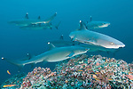 Cocos Island, Costa Rica; several Whitetip Reef Sharks (Triaenodon obesus) swimming over the rocky reef, near a cleaning station, during the day