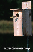 00715-037.05 Wood Duck (Aix sponsa) duckling leaving nest box Marion Co.   IL