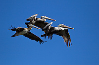 BROWN PELICANS (Pelecanus Occidentalis) an endangered species in flight over ELKHORN SLOUGH - MOSS LANDING, CALIFORNIA