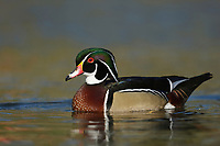 Wood Duck (Aix sponsa), adult male, Hill Country, Central Texas, USA