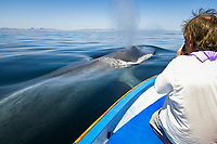 Ecotourism, Blue whale ( Balaenoptera musculus ) A very calm blue whale blowing as it surfaces beside a tourist boat, man taking photos. Mexico, Gulf of California, USA, Pacific Ocean
