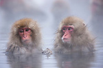 Japan, Japanese Alps, young snow monkeys in hot spring