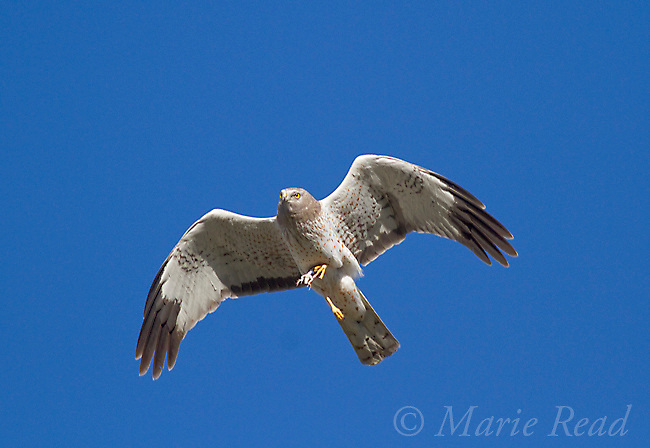 Northern Harrier (Circus cyaneus) male in flight carrying food (reptile or amphibian) in its talons, Mono Lake Basin, California, USA