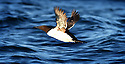 THE ISLES OF SCILLY SEABIRD RECOVERY PROJECT. A GUILLEMOT TAKING OFF.<br /> 17/06/2015. PHOTOGRAPHER CLARE KENDALL.