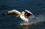 An American White Pelican (Pelecanus erythrorhynchos ) lands, using its large feet as waterskis.  Alberta, Canada