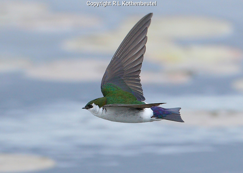 Violet-green swallow (Tachycineta thalassina) Adult in flight displaying its violet and green colors.<br /> Juanita Bay Park, Kirkland, King County, Washington State 5/2/2010