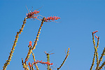 Ocotillo, Fouquieria splendens, Imperial County, California
