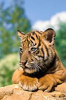 Sumatran tiger, Panthera tigris sondaica, cub, critically endangered species