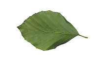 Buche, Rot-Buche, Rotbuche, Fagus sylvatica, Common Beech, European beech, Le hêtre commun. Blatt, Blätter, leaf, leaves