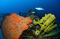 Sponge scenics at Cane Bay wall with Orange Elephant Ear Sponge and Convoluted Barrel Sponge.St. Croix, .US Virgin Islands