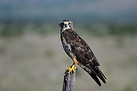 Swainson's Hawk, Texas roadside