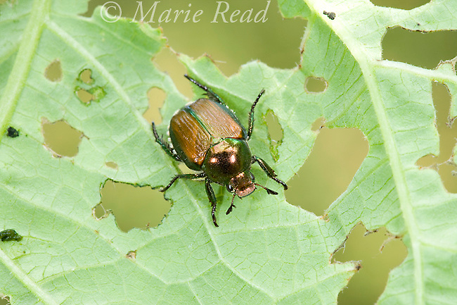 Japanese Beetle (Popillia japonica), an introduced pest insect, showing the damage it causes as it feeds on a green-bean leaf, New York, USA