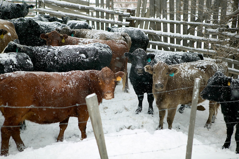 Cows in snow. Near Halfway, Oregon