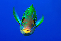 BLUESTRIPE SNAPPER  Lutjanus kasmira   HAWAII. fish tropical fishes color colorful one underwater marine