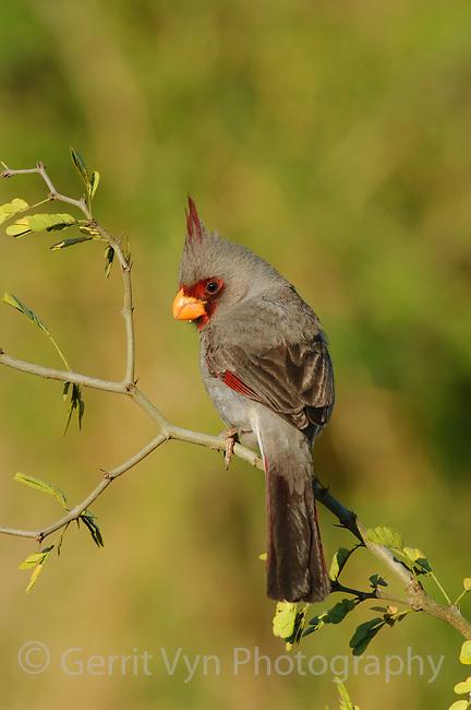 Adult male Pyrrhuloxia (Cardinalis sinuatus).  Hidalgo County, Texas. March.
