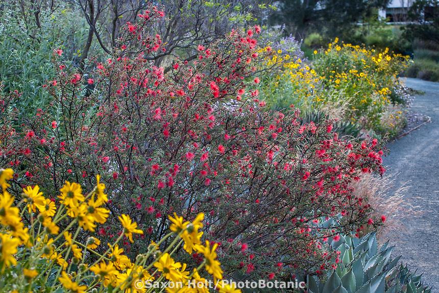Calliandra californica - Zapotillo or Baja Fairy Duster California native shrub flowering in Leaning Pine Arboretum with Encelia californica, Brittlebush, California garden