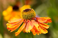 Echinacea Tiki Torch, Coneflower, with orange blooms in country garden, UK