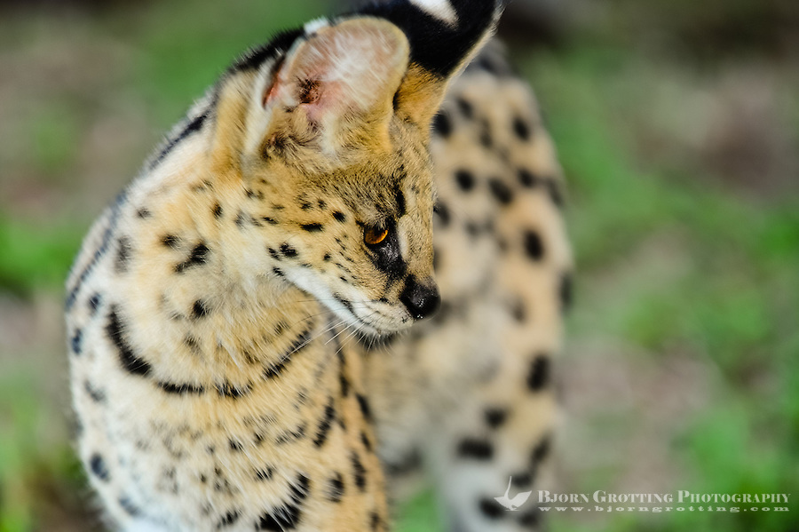 Serval at the Emdoneni Cat Rehabilitation Centre in South Africa, which purpose is to care for wild cats.