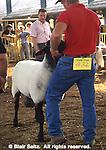 York County, PA. Fair, Sheep Judging