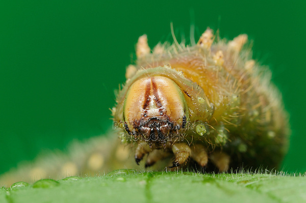 Luna Moth (Actias luna), caterpillar close up, New Braunfels, Central Texas, USA