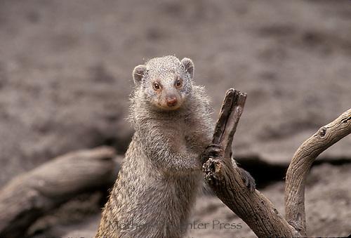 Mongoose, Mungos mungo standing on hind legs holding stump, mongoose