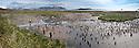 King Penguin (Aptenodytes patagonicus) breeding colony with tourists. Salisbury Plain, South Georgia, South Atlantic. (digitally stitched image)